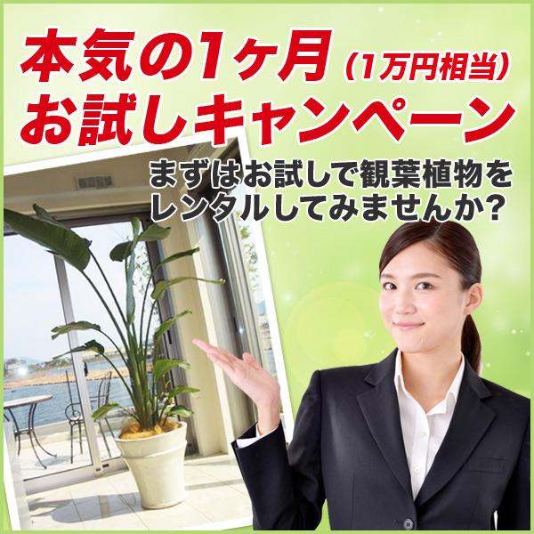 フィカス・バンビーノ【広島で観葉植物レンタルのオススメ】