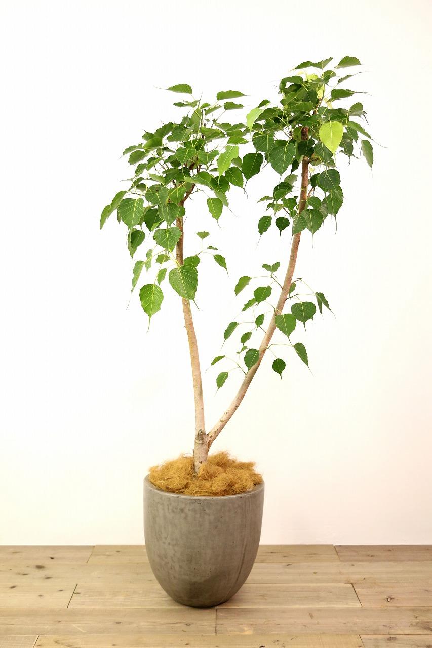 インドボダイジュ【広島で観葉植物レンタルのオススメ】